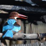 Madu River - Eisvogel