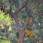Madu River - Jackfrucht-Baum