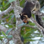 Madu River - Riesen-Eichhörnchen